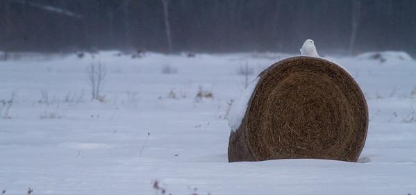 Snowy Owl mature male on haybale CR229-29 Dart Road Sax-Zim Bog MN IMG_0030