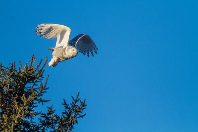 Snowy Owl along CR105 South Superior WIIMG_5488