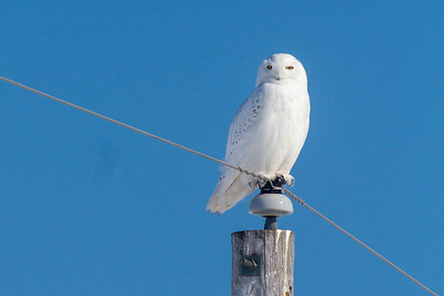 Snowy Owl mature male CR226 near Hwy 29 SW of Meadowlands MN Sax-Zim Bog MN -1669