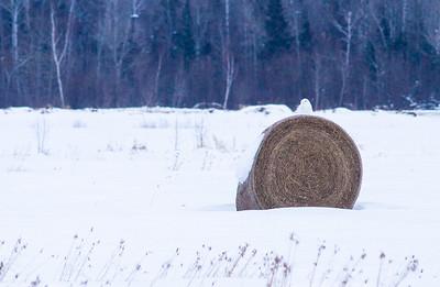 Snowy Owl mature male on haybale CR229-29 Dart Road Sax-Zim Bog MN IMG_0014