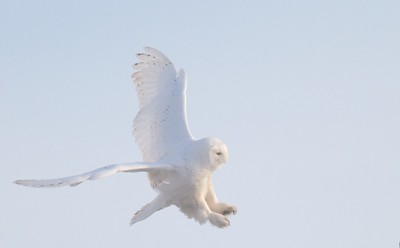 Snowy Owl adult male Menards Superior WI  IMG_4580