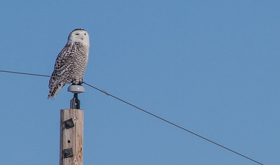 Snowy Owl Glacial Ridge National Wildlife Refuge Polk County MNIMG_0250
