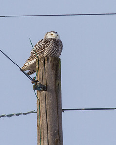 Snowy Owl young female Andrew's Road CR29 Sax-Zim Bog MN IMG_0003