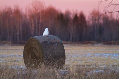 Snowy Owl mature male on haybale CR229-29 Dart Road Sax-Zim Bog MNIMG_3946