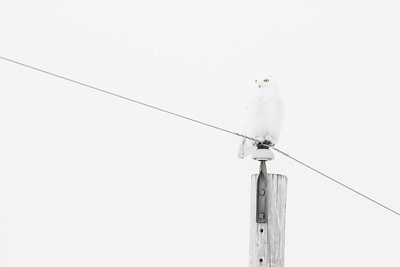 Snowy Owl mature male CR226 near Hwy 29 SW of Meadowlands MN Sax-Zim Bog MN -1715
