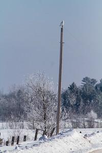 Snowy Owl mature male CR226 near Hwy 29 SW of Meadowlands MN Sax-Zim Bog MN -1611