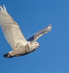Snowy Owl along CR105 South Superior WIIMG_5499