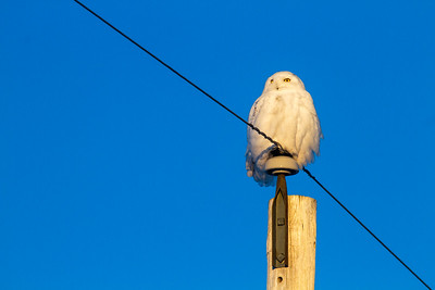 Snowy Owl mature male CR226 near Hwy 29 SW of Meadowlands MN Sax-Zim Bog MN -1773