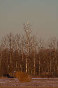 Snowy Owl mature male on haybale CR229-29 Dart Road Sax-Zim Bog MNIMG_3916