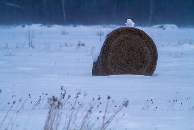 Snowy Owl mature male on haybale CR229-29 Dart Road Sax-Zim Bog MN IMG_0026