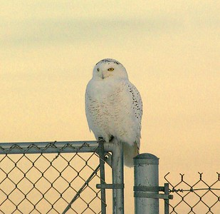 I nearly got arrested taking this photo. This male Snowy Owl was perched on the fence of the Duluth International Airport near the federal prison. As I snowshoed towards it I heard a loudspeaker informing me to get back to my car. I turned and saw four police and security cars. Eventually the sheriff and a K-9 unit arrived. Thank God for digital...I showed them the owl photos on the back of my camera and was free to go [January; Duluth International Airport, Duluth, Minnesota]