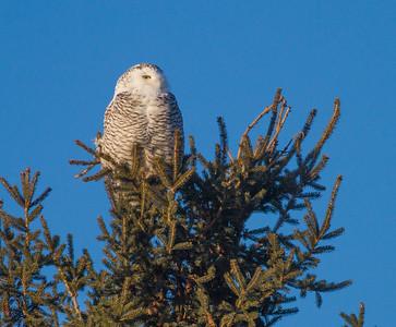 Snowy Owl along CR105 South Superior WIIMG_5479