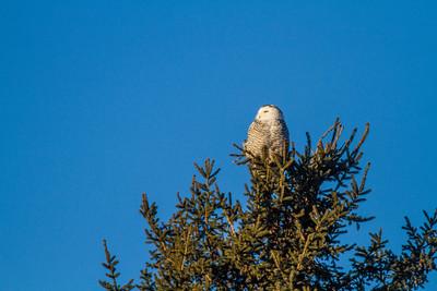 Snowy Owl along CR105 South Superior WIIMG_5482