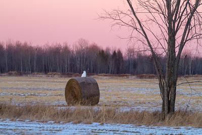 Snowy Owl mature male on haybale CR229-29 Dart Road Sax-Zim Bog MNIMG_3970