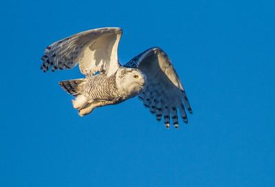 Snowy Owl along CR105 South Superior WIIMG_5490