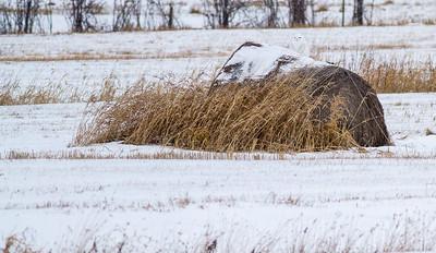 Snowy Owl on haybale along CR229-29 and Watsula Road Sax-Zim Bog MNIMG_3540