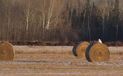 Snowy Owl mature male on haybale CR229-29 Dart Road Sax-Zim Bog MNIMG_3901