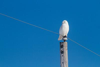 Snowy Owl mature male CR226 near Hwy 29 SW of Meadowlands MN Sax-Zim Bog MN -1698