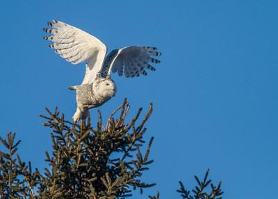 Snowy Owl along CR105 South Superior WIIMG_5486