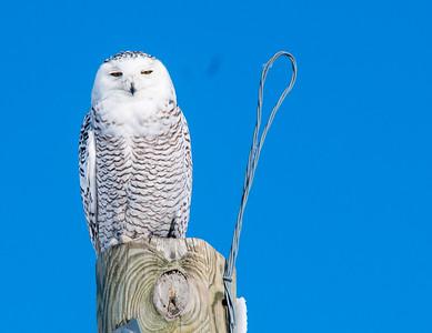 Snowy Owl US75 near Kennedy MN Kittson County MNSNY04626