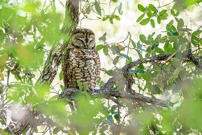 Spotted Owl Mexican subspecies Hunter Canyon southeast Arizona June 6-12 2019-01321
