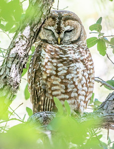 Spotted Owl Mexican subspecies Hunter Canyon southeast Arizona June 6-12 2019-01318