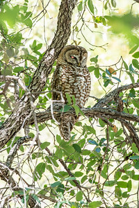 Spotted Owl Mexican subspecies Hunter Canyon southeast Arizona June 6-12 2019-01323