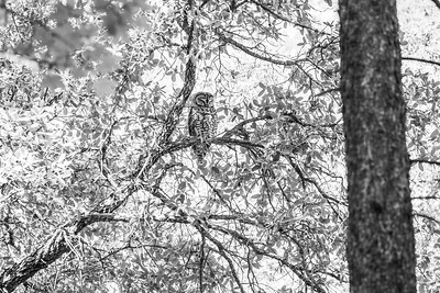 Spotted Owl Mexican subspecies Hunter Canyon southeast Arizona June 6-12 2019-01325