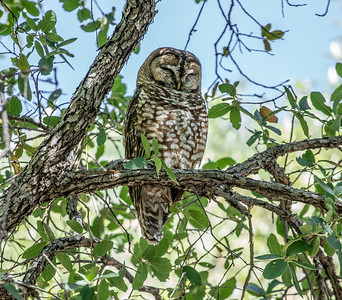 Spotted Owl Mexican subspecies Hunter Canyon southeast Arizona June 6-12 2019-01330