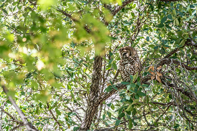 Spotted Owl Mexican subspecies Hunter Canyon southeast Arizona June 6-12 2019-01337