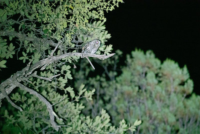 Whiskered Screech-Owl Herb Martyr Canyon Chiricahua Mountains near Portal Coronado National Forest southeast Arizona June 6-12 2019-00209