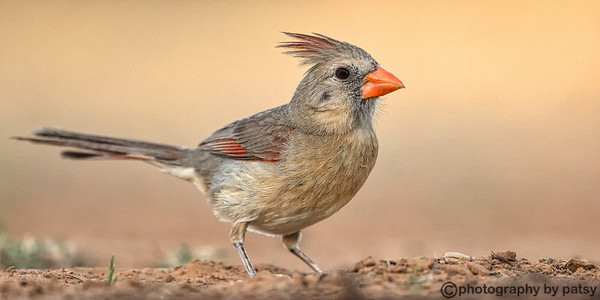 CARDINALS and PYRRHULOXIA