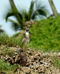 Brown Booby Babies or Juveniles