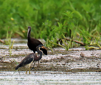 Tricolored Heron & Glossy Ibis