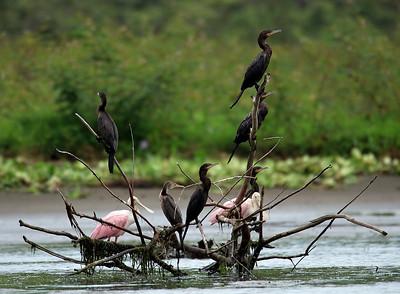 Neotropic Cormorants & Roseate Spoonbills