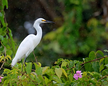 Snowy Egret (in the rain)
