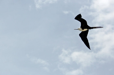 Magnificent Frigatebird Immature