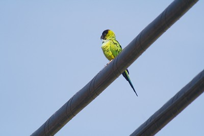 Black-headed Parakeet CA IMG_009186 CR2