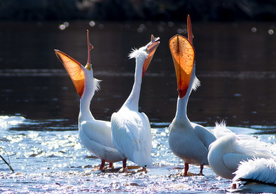 American White Pelican flock loafing roost Fond du Lac Bridge St  Louis River Duluth MN-06925