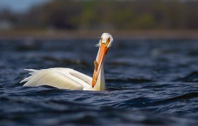 American White Pelican Lake Osakis Douglas County MN -0574