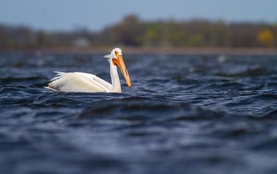 American White Pelican Lake Osakis Douglas County MN -0571