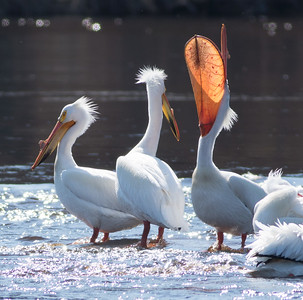 American White Pelican flock loafing roost Fond du Lac Bridge St  Louis River Duluth MN-06924