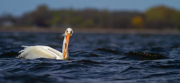 American White Pelican Lake Osakis Douglas County MN -0576
