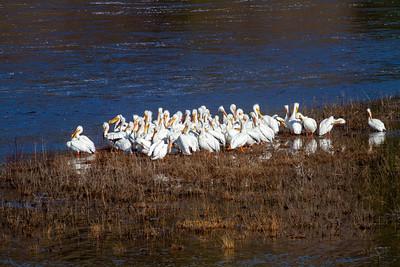 American White Pelican flock St  Louis River at Fond du Lac Bridge Duluth MN -4294