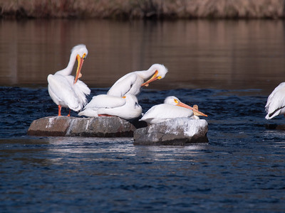 American White Pelican flock loafing St  Louis River at Fond du Lac bridge Chamber's Grove park Duluth MN -1044056