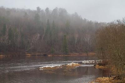 American White Pelican flock St  Louis River at Fond du Lac Bridge Duluth MN -5713