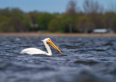 American White Pelican Lake Osakis Douglas County MN -0545
