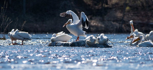 American White Pelican flock loafing roost Fond du Lac Bridge St  Louis River Duluth MN-06899
