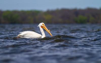 American White Pelican Lake Osakis Douglas County MN -0556