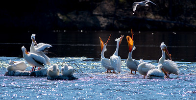 American White Pelican flock loafing roost Fond du Lac Bridge St  Louis River Duluth MN-06927